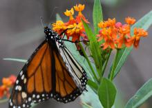 An orange and black butterfly hangs onto a cluster of small, orange blossoms.