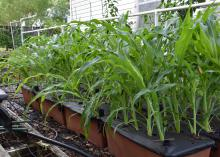 Small stalks of corn grown in rows from containers.