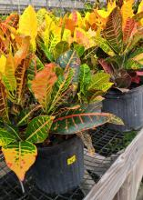 Short plants with red-veined yellow and green leaves grow from black pots.