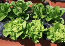 Small, green lettuce plants grow in two rows in brown containers.
