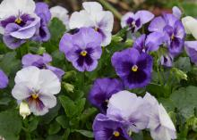 Various shades of purple flowers bloom above green foliage.