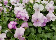 Light purple blooms cover the top of green plants.