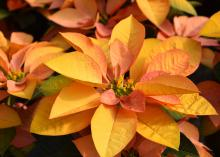 A poinsettia has leaves in yellow and pink.