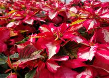 Red poinsettia leaves sport white centers.