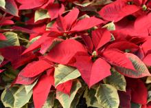 Red poinsettia bracts are displayed above pale, grayish-green leaves.