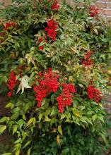 A green bush has clusters of red berries.
