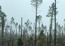 A few trees remain standing among an area with snapped off pines.