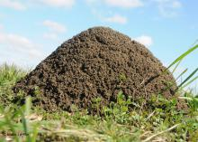 A closeup of a fire ant mound.