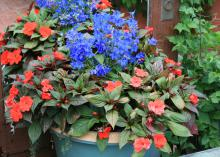 Red and blue flowers bloom in a mixed container.