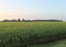 A rice field.
