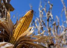 The husk has been pulled away from a yellow ear of dried corn in a field.