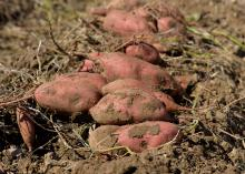Sweet potatoes lay unearthed in a field.
