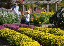 Rows of mums fill a flower bed.