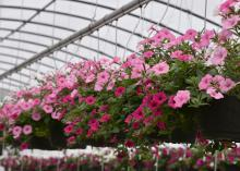 Hanging baskets display dozens of pink flowers.