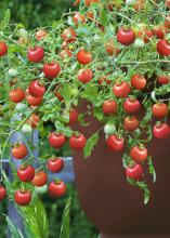 Dozens of red tomatoes grow on a plant in a brown container.