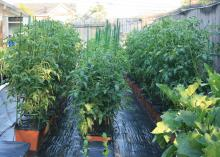 Rows of green plants grow from rectangular boxes lined.