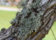 A small clump of hairy-type plant material grows on a tree trunk.
