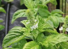 Small, white flowers bloom on light-green leaves