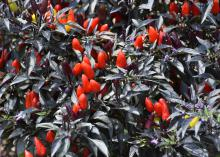 Red fruit points upward through black leaves.