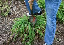 One foot is placed on a shovel inserted in the middle of a clump of plants.