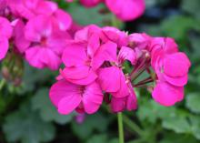 A cluster of small, hot-pink blooms rise above green foliage.