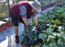 A man leans over to harvest leafy greens.