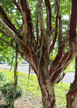 Curled strips of bark hang from a multi-colored crape myrtle trunk.