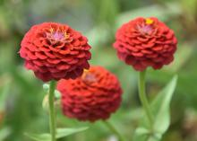 Three round, red flowers bloom above green foliage.