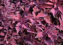 Reddish-purple leaves have jagged edges