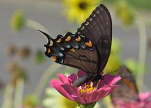 A dark-winged butterfly rests on a purple bloom.