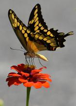 A yellow and black butterfly rests with wings spread on an orange bloom.