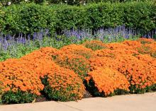 A row of orange blooms lines a sidewalk.