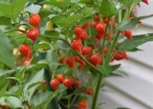 Small red peppers with pointed ends grow on a bush.