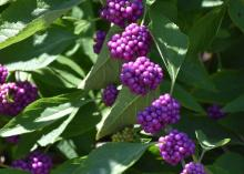 Clumps of purple berries line green branches.