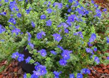 Dozens of blue flowers cover a green plant.