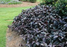 A landscape bed is covered in a low-growing, purple plant.