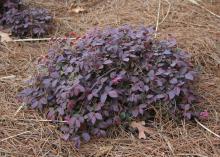 A small, purple shrub forms a low mound.