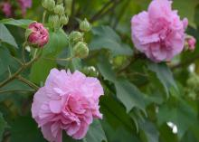 Two pink blooms are surrounded by green leaves.