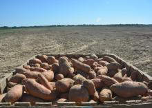 Freshly dug Vardaman, Mississippi, sweet potatoes await transfer from the Calhoun County field to a curing and storage facility on Sept. 20, 2016. (Photo by MSU Extension Service/Linda Breazeale)