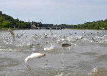 Silver carps jump above the water's surface on the Mississippi River. The presence of silver carp, a type of Asian carp, in rivers and streams reduces the number of quality-sized native fish because they compete against each other for food. (Photo courtesy of Asian Carp Regional Coordinating Committee)