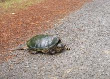 Mississippi reptiles, such as this snapping turtle, can be seen crossing the road this time of year as they search for sandy soil in which to build nests and lay eggs. (Photo by MSU Ag Communications/Kat Lawrence)
