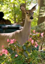 Although Mississippi remains fairly rural, deer seek refuge in areas that offer shelter, plentiful food, few predators and abundant water sources, so they frequently are found snacking in suburban flowerbeds. (Photo by iStock)