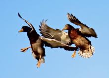 This is an image of two mallard ducks flying. Waterfowl can carry various strains of the avian influenza virus. Hunter can help prevent spreading the virus by following recommended precautions.