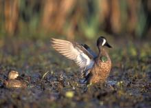 The migration of ducks, such as this blue-winged teal, from the Mississippi Delta to the Prairie Pothole region of the northern Great Plains each year is an example of a circannual rhythm. (File photo/MSU Extension)