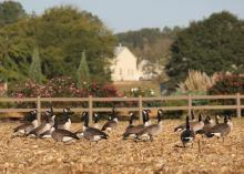 Migration is one of the ways wild creatures, such as these Canada geese, adapt to the onset of colder weather. (Photo by MSU Extension Service/Kat Lawrence)