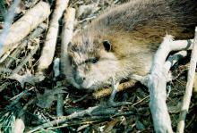 Beavers, such as this one on an Oktibbeha County farm, can cause significant damage to ponds and lakes, as well as the areas around them. Trapping is usually the most effective control method. (File photo by MSU Extension Service/Linda Breazeale)