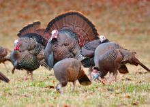 """The English language is filled with idioms about wildlife, including """"birds of a feather flock together,"""" the way these wild turkeys have gathered in a field. (Submitted photo)"""