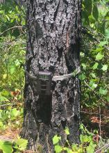Secure a game camera to a tree to evaluate wildlife or other visitors on your property. (Photo by MSU Extension Service/Jacob Dykes)