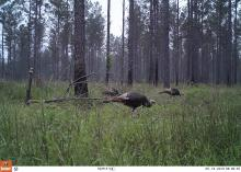 In pine-dominated forests, thinning and prescribed fire are important management practices for creating and maintaining turkey habitat. (Submitted photo)