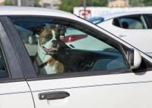 Pets left inside vehicles, especially on hot summer days, can suffer heat exhaustion and heatstroke. (Staged photo by MSU Ag Communications/Kat Lawrence)